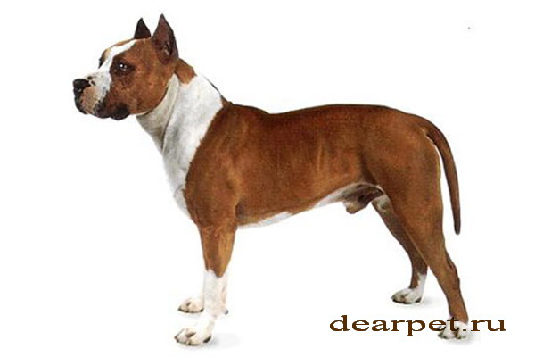 an argument against the reputation of aggressive behavior of the american staffordshire terriers pit Studies show pit bull owners use strategies american pit bull terriers are eligible to not know that an american staffordshire terrier was a pit.